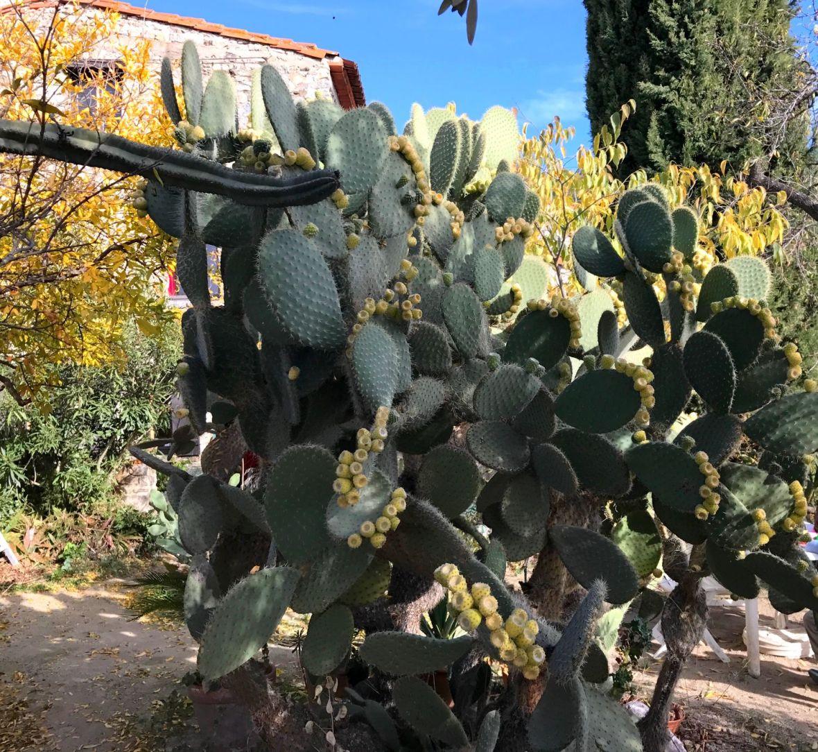 opuntia-arborecent