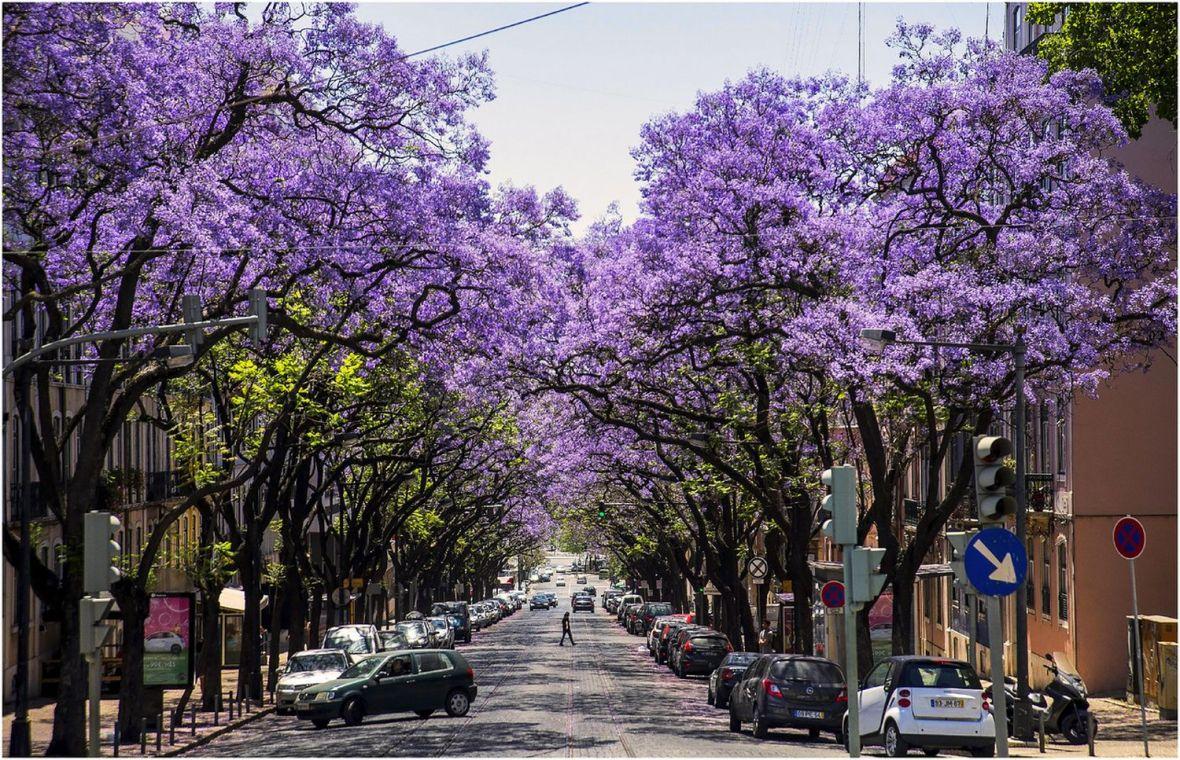 Rue avec les Jacarandas en fleur bleu de Lisbonne