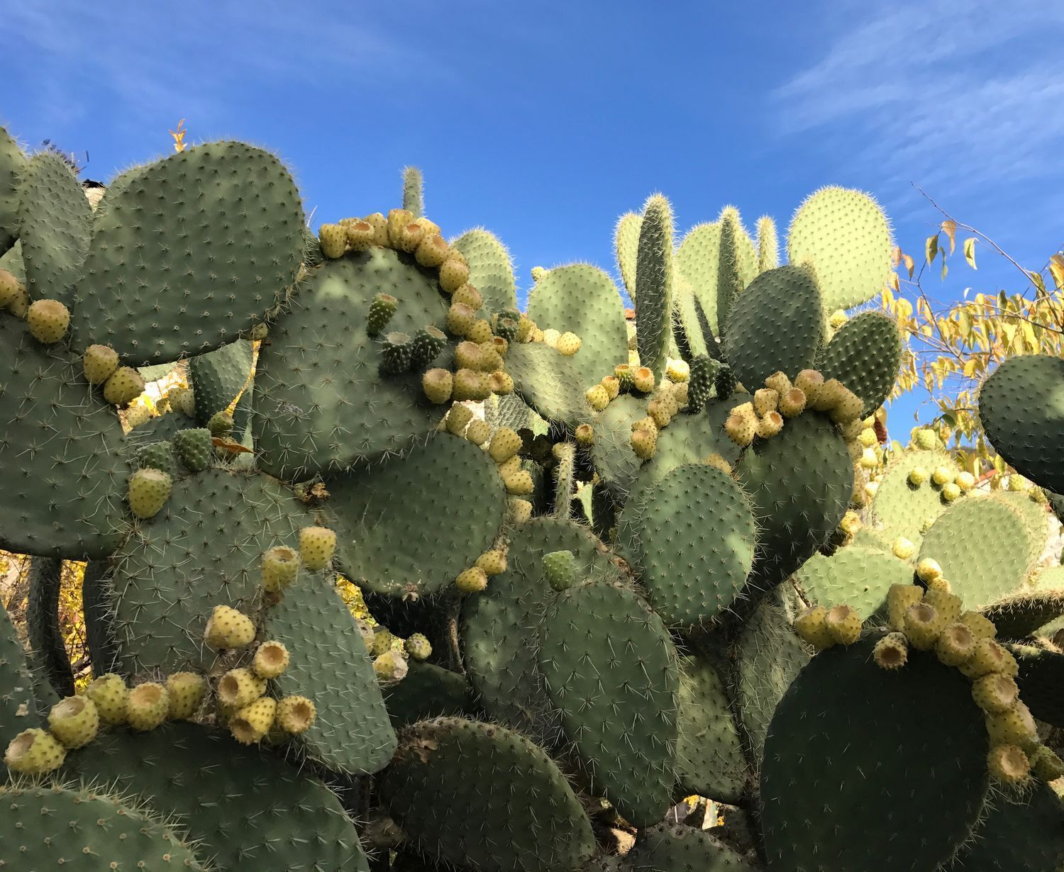 grand opuntia arborecent figue de barbarie comestible