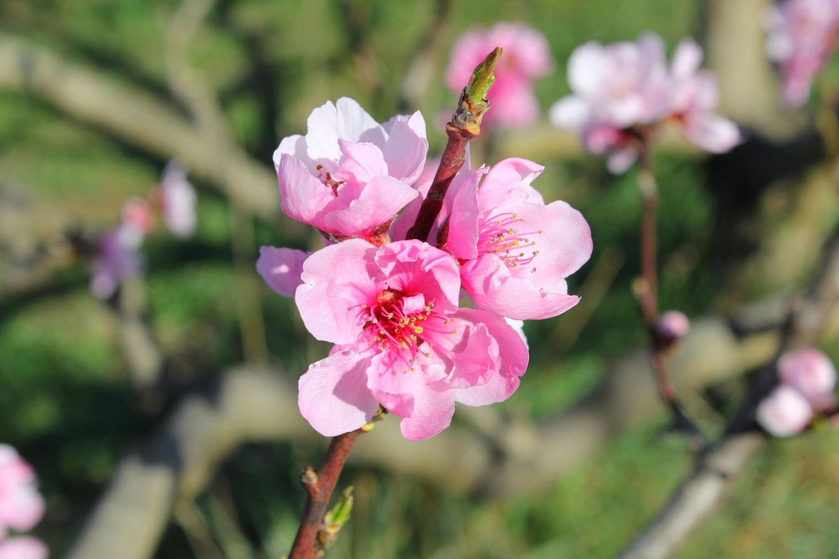 peach flower pink bloom eus village pyrenees south France