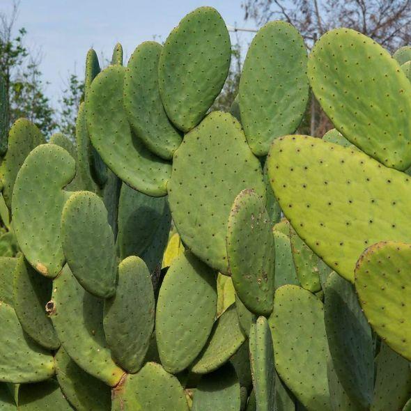 nopal jus de cactus