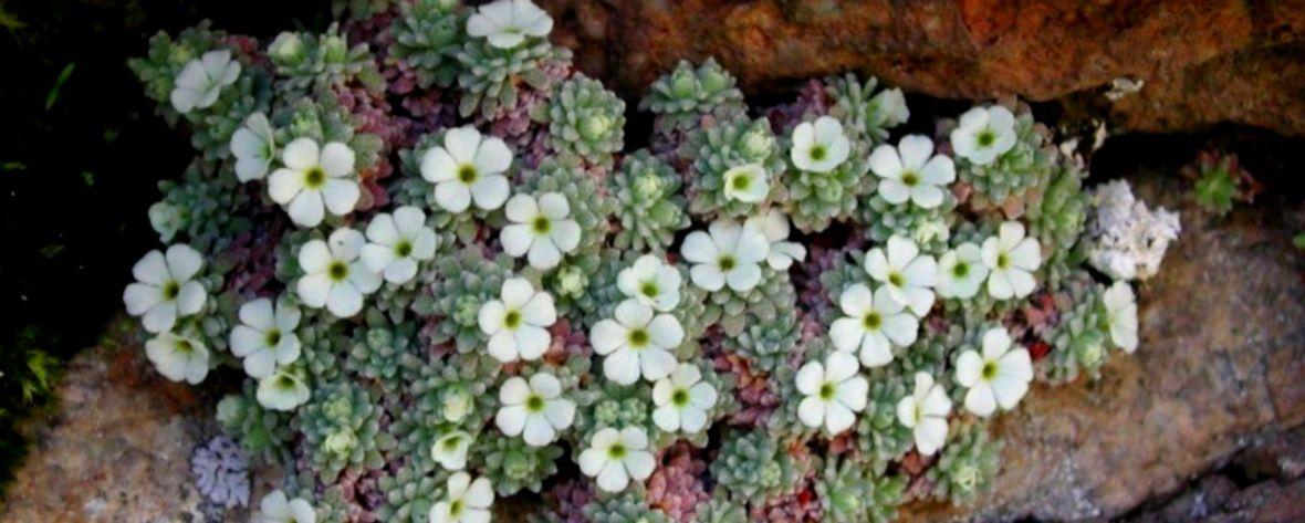Androsace de Vandel Nyer fleur protégée