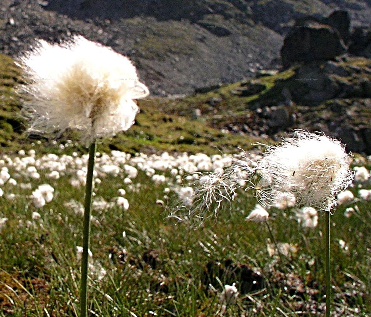 Eriophorum ou linaigrette herbe à jonc ou herbe à coton