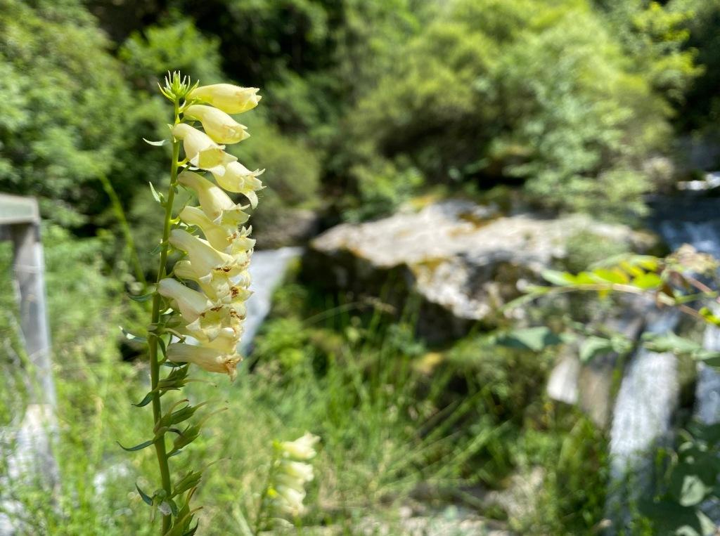 flore des pyrénes canigou