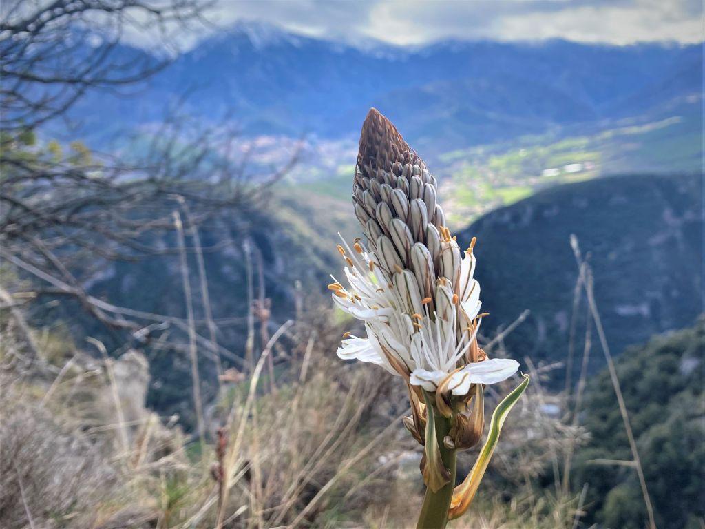 asphodele blanc liliacée pyrenees sauvage Asphodelus albus famille des Liliaceae