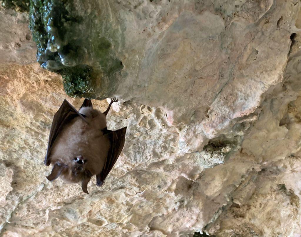 chauve souris endémique pyrenees orientales