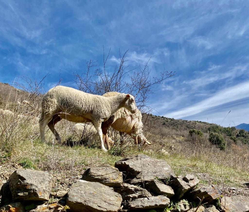 pastoralisme brebis pyrenees tome fromagerie evol chevre olette